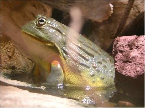 07-namibian-bullfrog