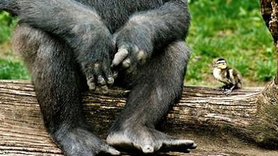 Gorila si prietena sa ratusca