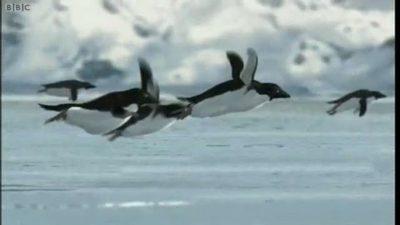 Cum, nu stiati? Pinguinii zboara!