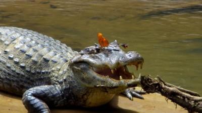 Lacrimi de crocodil utile