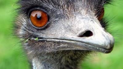 Cum sa atragi un card de emu