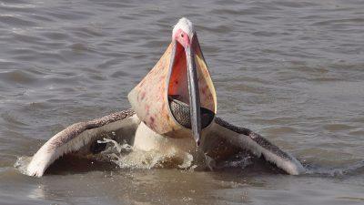Bufet suedez pentru pelicani